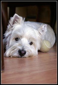westies.  Please play ball with me!!
