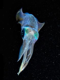 Galactic Squid, a bioluminescent squid, off the cost of Okinawa by Cameron Knudsen