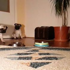 I haven't posted in awhile because I was gounded Bubble challenged me at a kibble eating competition and things got out of control   #mauricethepug #bubblethepug #bubble #sorry #competition #slowmotion #foodie #badboy #challege #pug #pugchat  #pugstory #tirgumures #romania  #funnyvideo #funnydog  #mops #dog