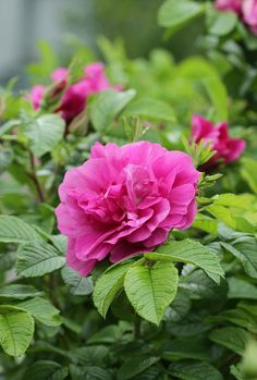 ~Rosa rugosa 'Roseraie de l'Haÿ' (France, 1901). Love the leaves on this one   I have this one, and the smell knocks your socks off!
