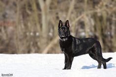 Black German Shepherd, will be mine someday!