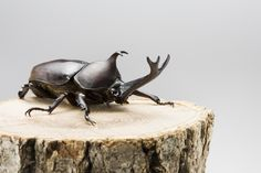 1. Rhinoceros Beetle (Kabutomushi)