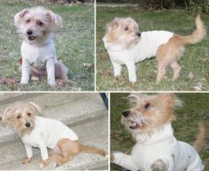 Yes the dog looks ridiculous. Still, a fast and easy sweater project for my poor, (nearly) hairless, dog.