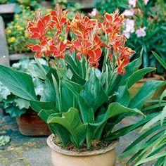 KANA INDICKÁ A JEJ PESTOVANIE | Hurá do záhrady