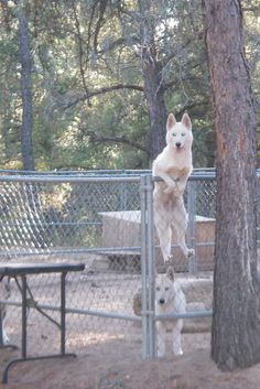 """This is R2, an Alaskan Husky pup from Iditarod musher Karen Ramstead's kennel. She posted this picture on Facebook with the following words: """"I think R2 needs a taller pen."""" Alaskan Huskies are notoriously good escape artists and very very smart."""