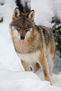 Gray wolf by Christian Rey. love the color of this wolf Beautiful Creatures, Animals Beautiful, Cute Animals, Wild Animals, Tier Wolf, Wolf Stuff, Howl At The Moon, Wolf Love, Beautiful Wolves