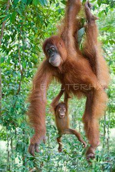 Nature Photography, BABY ORANGUTAN PLAYING with Mom Photo- 8 X 12 Print - Baby Animal Photograph, Nursery Art, Jungle Zoo, Monkey, Cute. $25.00, via Etsy.