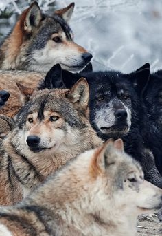 Beautiful Wolves : A Pack of Wolves (by Micha Röder) Wolf Photos, Wolf Pictures, Beautiful Wolves, Animals Beautiful, Tier Wolf, Animals And Pets, Cute Animals, Wolf Hybrid, Wolf Photography