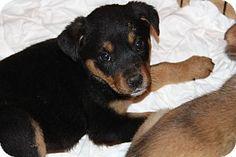 Phoenix, AZ - Rottweiler/German Shepherd Dog Mix. Meet Hollandaise, a puppy for adoption. http://www.adoptapet.com/pet/17278640-phoenix-arizona-rottweiler-mix