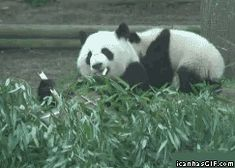 panda animated GIF