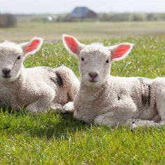 La campaña Meet the Lamb pretende promover el consumo de carne de cordero. Irónicamente, cuanto más conocemos a las ovejas, menos nos las queremos comer. Lamb, Carne, Animals, Texts, Baby Lamb, Beautiful Roses, Animals Beautiful, Trapillo, Hilarious