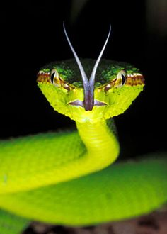 The forked tongue of a snake allows it to 'smell' the air.
