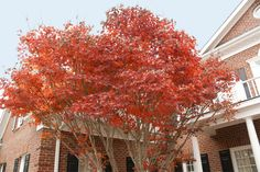 These 9 trees are B-E-A-utiful in autumn and are sure to stun the neighbors with their amber colors and hues.