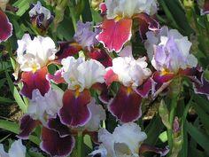 Dès le mois de mai, les iris offrent une incroyable palette de couleurs pour égayer les jardins. Du grand iris jusqu'aux variétés miniatures pour les rocailles, ce genre végétal présente une infinie diversité de formes et de coloris. Voici une petite fiche pratique pour bien choisir et mettre en valeur ces fleurs spectaculaires. , par Audrey