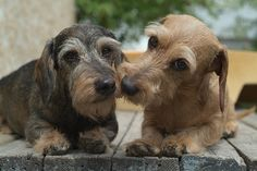 I'd love to get a Wirehaired Dachshund. ! they look like little grandpas lmao too adorable