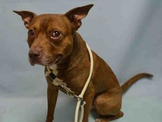 SAFE 9-6-2015 by Red Hook Dog Rescue --- Brooklyn Center DUTCH – A1049627  MALE, RED, AM PIT BULL TER MIX, 6 yrs OWNER SUR – EVALUATE, NO HOLD Reason PERS PROB Intake condition EXAM REQ Intake Date 08/29/2015