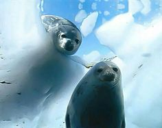 The Census of Marine Life: Photo of the Week - Weddell Seal Underwater Creatures, Underwater World, Animals And Pets, Funny Animals, Cute Animals, Cute Seals, Harp Seal, Life Under The Sea, Seal Pup