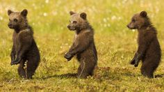 Look mom, we can stand up straight too! Three adorable brown bear cubs get in line as they imitate their mother