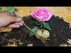 The Truth About Growing a Rose in a Potato Growing Roses, Growing Tree, Latch Hook Rugs, Propagating Succulents, Face Masks For Kids, Vegetable Garden Design, Garden Gates, Garden Inspiration, Gardening Tips