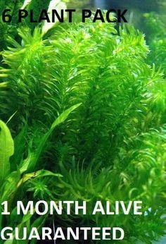 6 bunches of Anacharis elodea Easy Aquarium Plant aquascaping planted tank Planted Aquarium, Nature Aquarium, Green Lettuce, Aquascaping, Winter Garden, Goldfish, Fish Tank, Koi, Easy