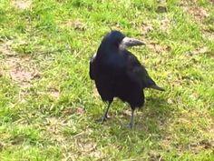 Corbeau freux - Corvus frugilegus