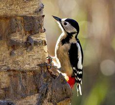Picot garser gros ♀ - Pico picapinos - Dendrocopos major - Great Spotted Woodpecker
