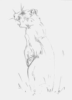 Mel Griffin, marmot illustration. graphite drawing on paper. www.melgriffin.com