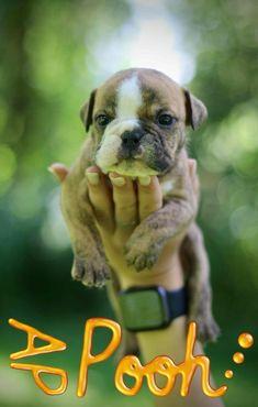Continental Bulldog, Bulldog Breeds, French Bulldog, Brother, Dogs, Animals, Puppys, Bavaria, Pet Dogs