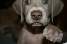 Weimaraner puppies are supaaa cute Cute Puppies, Cute Dogs, Dogs And Puppies, Doggies, Cute Funny Animals, Cute Baby Animals, I Love Dogs, Puppy Love, Cutest Puppy