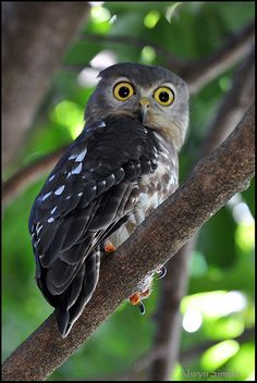 Barking Owl - Darwin Botanical Gardens NT. Native to Australia, parts of Papua New Guinea and the Moluccas