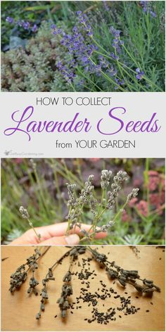 It is simple to gather lavender seeds from the backyard. Observe these steps and also you'll have numerous lavender seeds to share or commerce without spending a dime backyard seeds. Growing Herbs, Growing Vegetables, Organic Insecticide, Pot Jardin, Garden Seeds, Planting Lavender Seeds, Growing Lavender From Seed, Lavender Plants, Lavender Garden