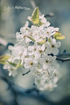 The Seasons: Midsummer's Dream | Life-n-Reflection #apple #blossoms