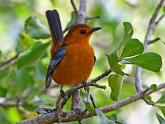 Red-capped Robin-Chat -subtropical & tropical Africa