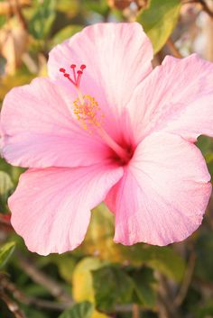 .we had hibiscus plants I liked to put one behind my ear to play dress up
