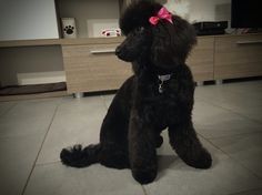 Ginger - barboncino nano poodle