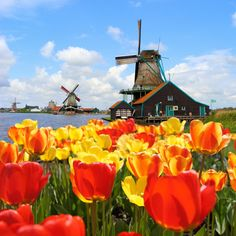 Awesome tulips and Mills - 14 Reasons to visit the Netherlands in Spring! - Netherlands Tourism