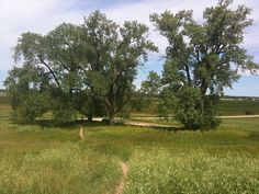 Another view of the cottonwoods planted by Charles Ingalls.