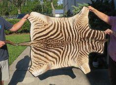 43 1 2 Inch Real African Zebra Skin Rug With Black Felt Backing Ace