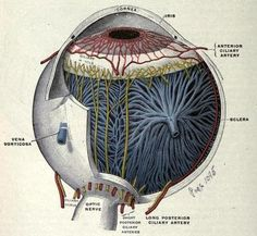 Vessels and nerves of the choroid and iris