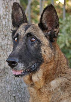 Saving a German shepherd named 'Rambo' - National Dogs   Examiner.com