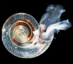 Climate change: Pacific Ocean acidity dissolving shells of key species