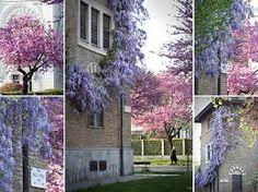 Risultati immagini per albero di lilla