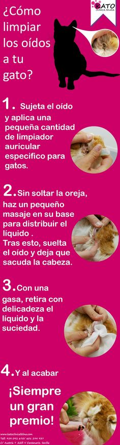 Guía rápida de como limpiar los oídos a nuestros gatos.