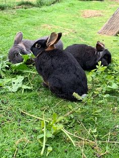 Who needs a lawn mower when you have rabbits?! 85% of your rabbits' diet should be made up of grass or hay. Grass (or hay) is integral to both your buns' digestive and dental health, so they should be eating their body size in grass or hay every day! Fresh grass is great for your rabbits, but please do not give your rabbits grass cuttings from the lawn mower because this grass has already started to ferment from the heat and can upset your buns' tum.