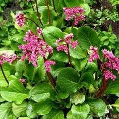 Herttavuorenkilpi. Korkeus: 30-40 cm. Kukkii touko-kesäkuussa. Kasvupaikka aurinko-puolivarjo.