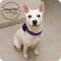 Troy, OH - Cattle Dog/Labrador Retriever Mix. Meet Mia, a dog for adoption. http://www.adoptapet.com/pet/13244357-troy-ohio-cattle-dog-mix