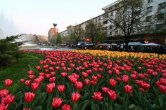 The tulip's fest - Pitesti Romania Places Worth Visiting, Romania, Tulips, Beautiful Places, Castle, Country, Plants, Photography, Travel
