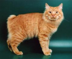 Kurilian Bobtail - this natural breed of cat developed on an archipelago of approximately 56 volcanic islands near Russia.