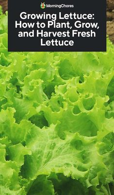 Growing Lettuce: How to Plant, Grow, and Harvest Fresh Lettuce Anbau von Kopfsalat: So pflanzen, wac Growing Lettuce, Types Of Lettuce, Head Of Lettuce, Green Lettuce, Organic Gardening, Gardening Tips, Gardening Zones, Greenhouse Gardening, Gardens
