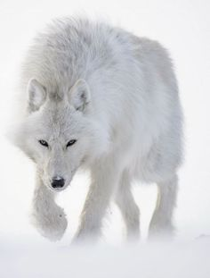 French wildlife photographer Vincent Munier has released a video promoting his new book, Arctique. This video is full of amazing imagery f. Arktischer Wolf, Wolf Eyes, Dire Wolf, Wolf Love, Wolf Spirit, Spirit Animal, Beautiful Wolves, Animals Beautiful, Beautiful Creatures